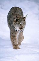 Lynx. Montana. USA