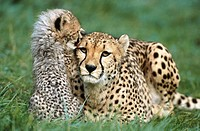 Captive cheetah (Acinonyx jubatus) with cubs