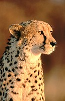 Cheetah (Acinonyx jubatus), captive. Namibia