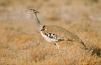 Kori Bustard (Ardeotis kori). Etosha National Park. Namibia