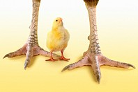 Tiny Chick Standing Between Adult Chickens Legs´
