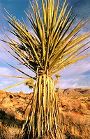 Mojave Yucca (Yucca schidigera). Mojave Natural Preserve. California. USA