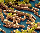 Salmonella typhimurium. Coloured scanning electron micrograph (SEM) of Salmonella typhimurium bacteria. These are Gram-negative bacilli (rod- shaped) ...