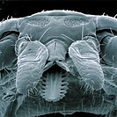 Lyme disease tick. Scanning electron micrograph (SEM) of the head of a tick (Ixodes sp.), the principal vector of Lyme disease. At lower centre is the...