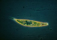 Protozoan algae. Light micrograph of Euglena acus, a protozoan algae. The internal components of this single-celled creature can be seen, as can the h...