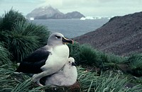 Grey-headed albatross (Diomedea chrysostoma) and its chick. Breeding pairs mate for life and both birds help raise a single chick every two years in a...