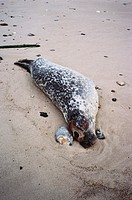 Harbour seal (Phoca vitulina) killed by phocine distemper virus (PDV). The harbour seal is the most widespread of all the seals, and is found in cold ...