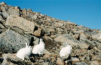 Arctic hares (Lepus arcticus) on rocks. These hares live in the Arctic tundra and mountains of northern Europe, Asia and North America. Most develop t...