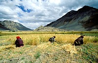 Local peasants harvesting their crops. Himalaya Mountains. India