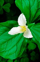 Western Trillium (Trillium ovatum)