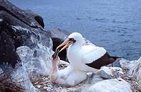 Adult Nazca Booby (Sula Granti) feeding its chick. Hood Island. Galapagos.Ecuador