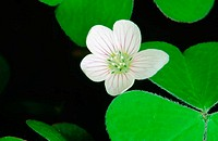 Redwood Sorrel (Oxalis oregana). Oregon. USA