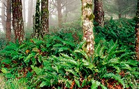 Sword Ferns (Polystichum munitum) cover the forest floor of Point Reyes National Seashore. California. USA
