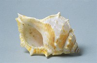 Sea shell