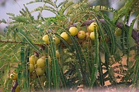 Amla (Emblica officinalis). Rajasthan. India