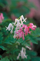 Bleeding heart (Dicentra luxuriant)