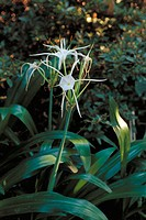 Spider Lilies (Hymenocallis Tropical Giant)