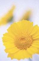 Yellow Daisy (thumbnail)