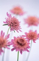 Field Scabious (Knautia arvensis)