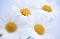 Daisies (Chrysanthemum leucanthemum) (thumbnail)