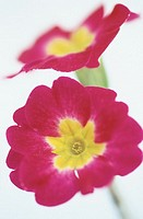 Primrose (Primula hybr.)