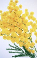 Wattle (Acacia decurrens)