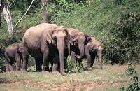 Elephants (Elephas maximus)