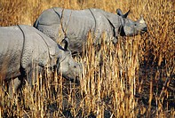 Indian One-Horned Rhinos (Rhinoceros unicornis). Kaziranga National Park. India