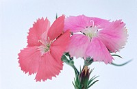 Chinese Pinks (Dianthus chinensis)