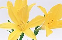 Day-lilies (Hemerocallis fulva)