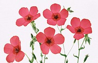 Scarlet Flax (Linum grandiflorum)