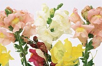 Snapdragons (Antirrhinum majus)