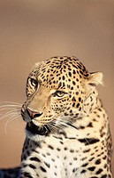 Leopard (Panthera pardus), captive. Africa