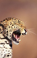 Leopard (Panthera pardus), captive. Africa (thumbnail)