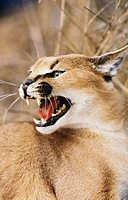 Caracal (Felis caracal). Africa