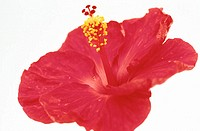 Hibiscus rosa-sinensis