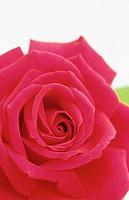 Rose, Rosa hybr.