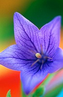 Balloon flower (Platycodon grandiflorum)