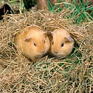 Baby Guinea Pigs