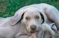 Weimaraner pups