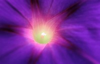 Morning Glory (Ipomoea purpurea)