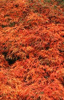 Japanese Maple (Acer palmatum) leaves in fall