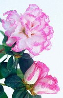 Rhododendron hybr.