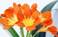 Kaffir Lily, Clivia miniata (thumbnail)