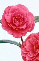 Camellia hybr