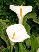 Common Callas (Zantedeschia aethiopica)