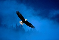 Bald Eagle Alaska USA