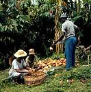 Cocoa Harvest Congo
