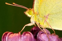 Clouded Yellow butterfly (Colias myrmidone)