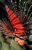Broadbarred Firefish (Pterois antennata) (thumbnail)